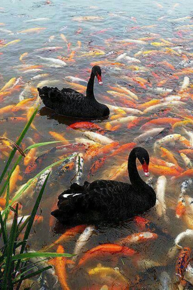 Beautiful Black Swans Swimming In An Amazing Koi Pound