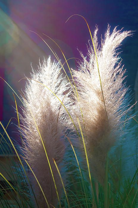 White Pampas Grass - Photograph by Richard Marquardt