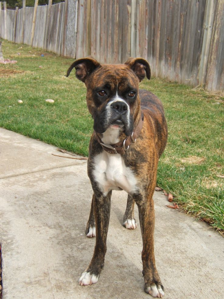 17 best images about bulldogs and boxers on pinterest for Brindle boxer