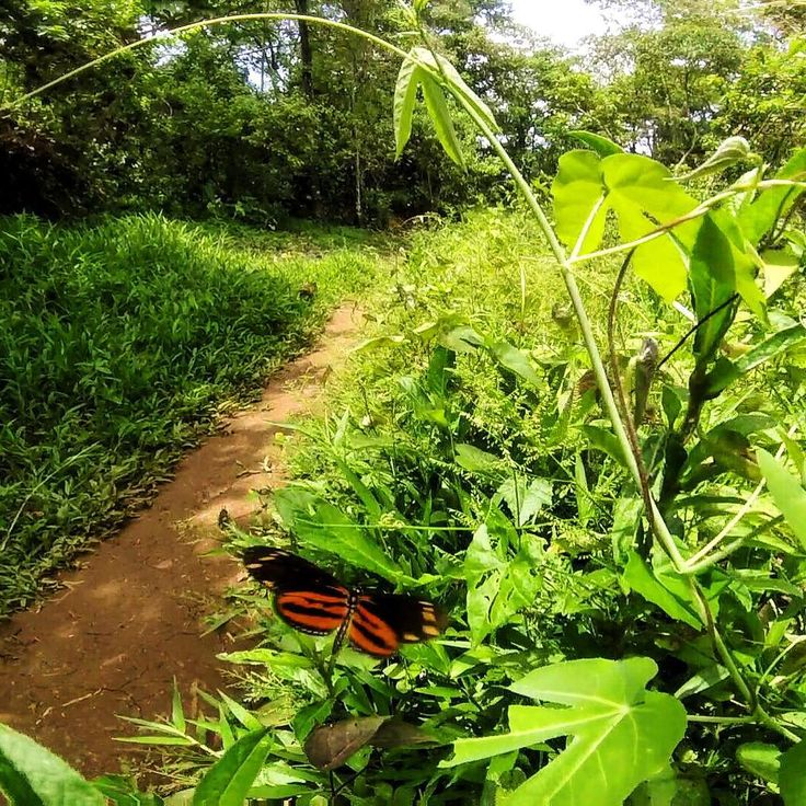 A #beautiful #butterfly on a #hike through the #jungle to #WizardBeach.  Just one of many #awesome #animals you'll see on #Bastimentos #Island in #BocasDelToro #Panama.  #instatravel #explore #CentalAmerica #TheBubbasLife #BubbasHouse #adventure by bubbashouse