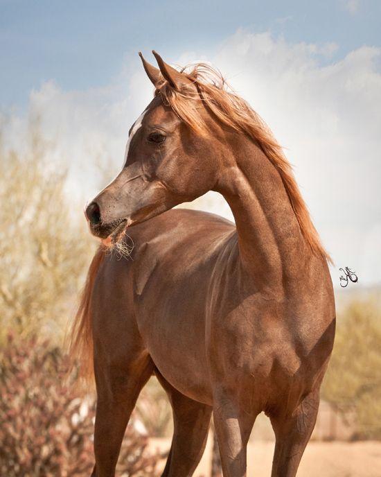 17 Best images about Horse on Pinterest | Arabian horses ... | 550 x 688 jpeg 48kB