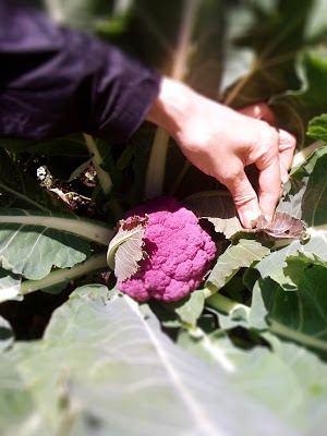 Sicilian cauliflower, cavolfiore siciliano