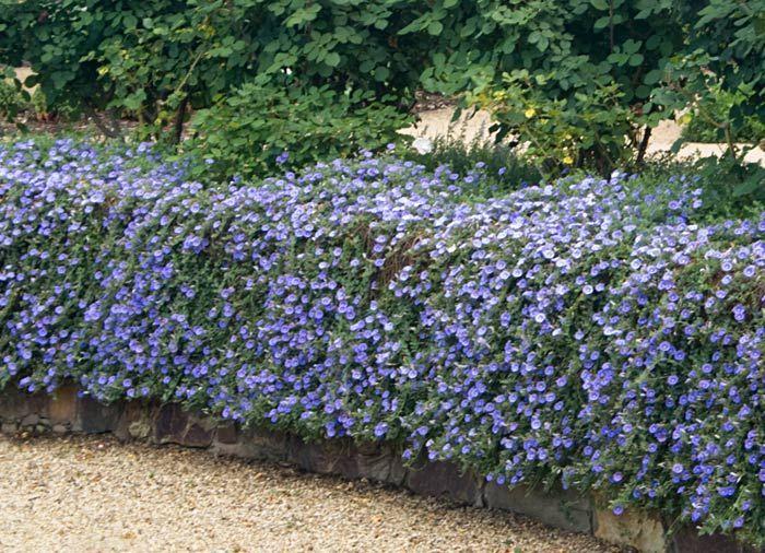 52 best hedging ideas images on pinterest hedging ideas patio ceanothus hedge workwithnaturefo