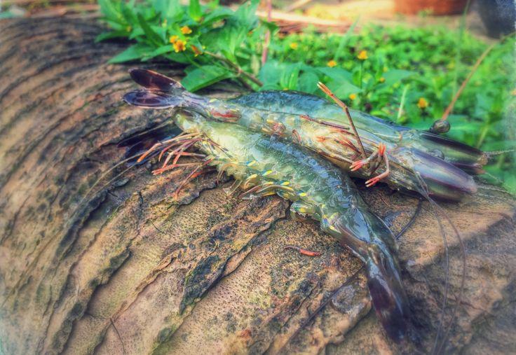 Ngăn ngừa bệnh hoại tử gan tụy cấp (AHPND) và kiểm...   Mạng Thủy sản Việt Nam