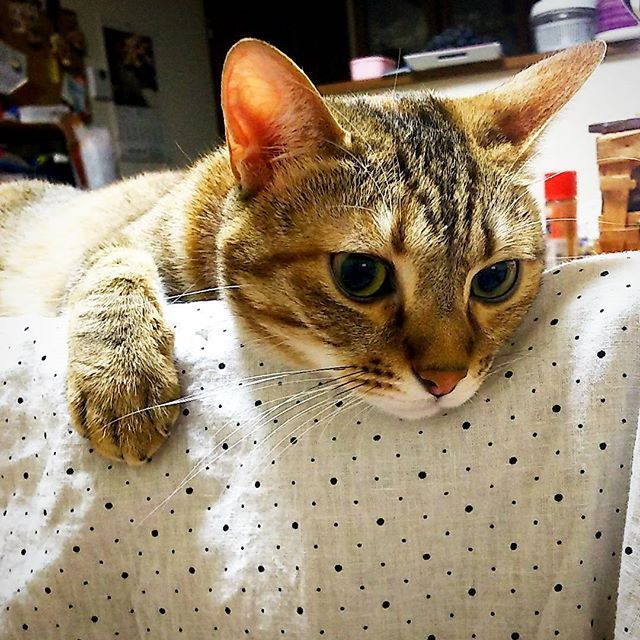 何か眠くなってきちゃったぁ🙀 りんちゃん😺も寝ちゃったしマ―ちやんもそろそろ寝よっかな💤  #ねこ#ネコ#猫#猫部#ペコねこ部#にゃんすたぐらむ#ニャンスタグラム#ぴくねこ#ピクネコ部#picneko#ねこだいすき#愛猫#眠そう#キジトラ#キジトラ猫#キジトラ猫部 #cat#cats#kitty#catsagram#catsofinstagram#loveit#meow#meowbox#lovely#catchingfire#catoftheday#catlovers#meowvswoof#yourcatphoto