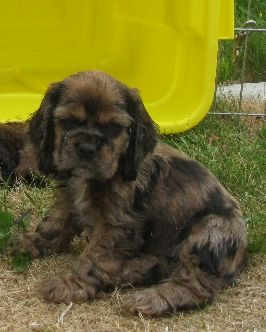 American Cocker Spaniel Puppy | Info on Merle Coloring in Cockers