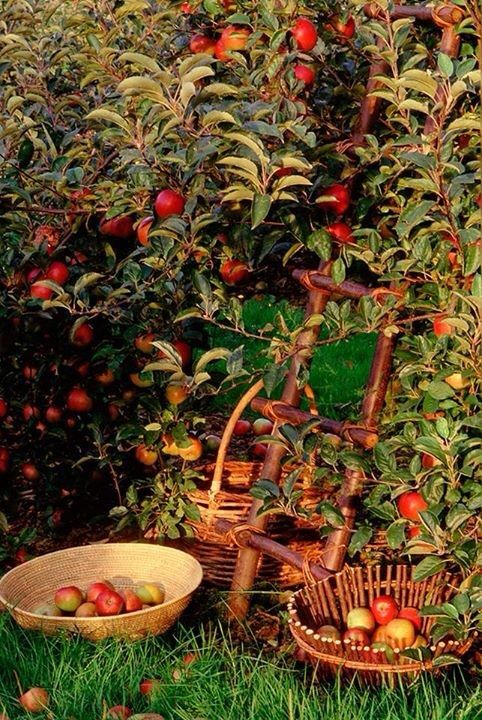 One thing I will most definitely have in my backyard one day - an orchard (and it must have apples too).