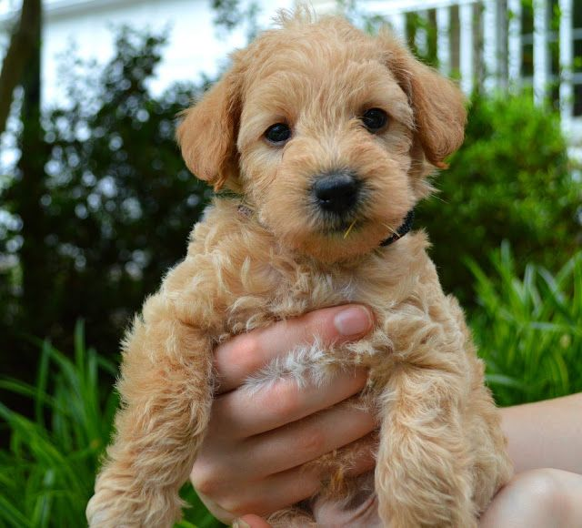 A Blog About Our Apricot Schnoodles For Sale In Virginia We Breed White Apricot And Red Schnoodles In The Miniature Toy Schnoodle Labrador Retriever Breeds