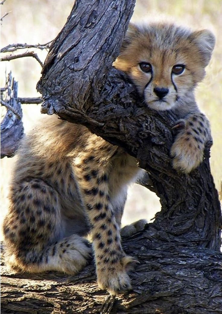 Cheetah Cub…x – Wildlife Purrrrrrrrrrrrrrfect