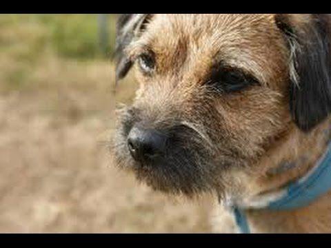 Perro Agresivo o Mascota - Border Terrier