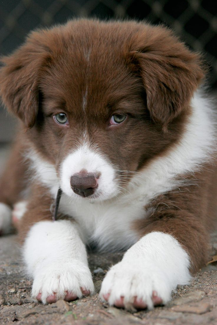 Toll This Is One Adorable Cinnamon Border Collie Pup!