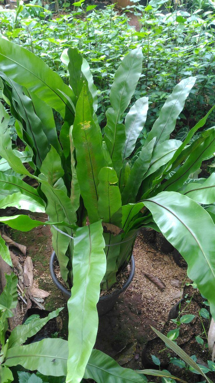 Tanaman Hias Kadaka Paku Tinggi tanaman +-60 cm. Akar kuat dalam media tanam polybag. Tanaman sesuai pada gambar. Price : IDR 128K INFO WA 085881683295