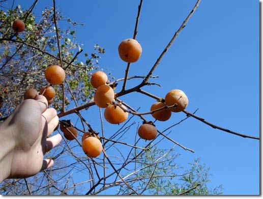 how to grow persimmon in malaysia