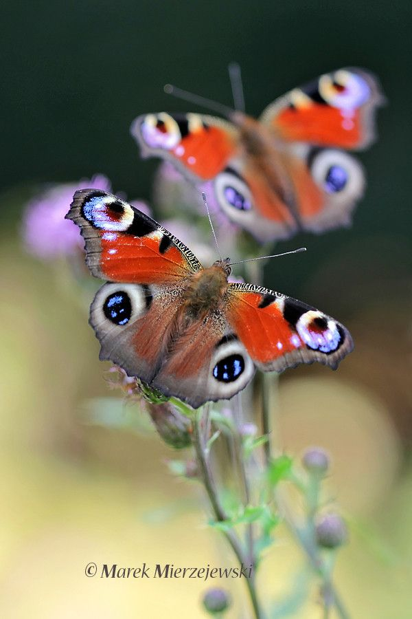 ~~Peacock butterflies by Marek Mierzejewski www.butterfly-photos.org~~
