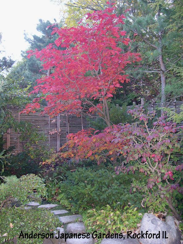 The acer japonicum 39 aconitifolium 39 in full red fall color for Garden design with japanese maple