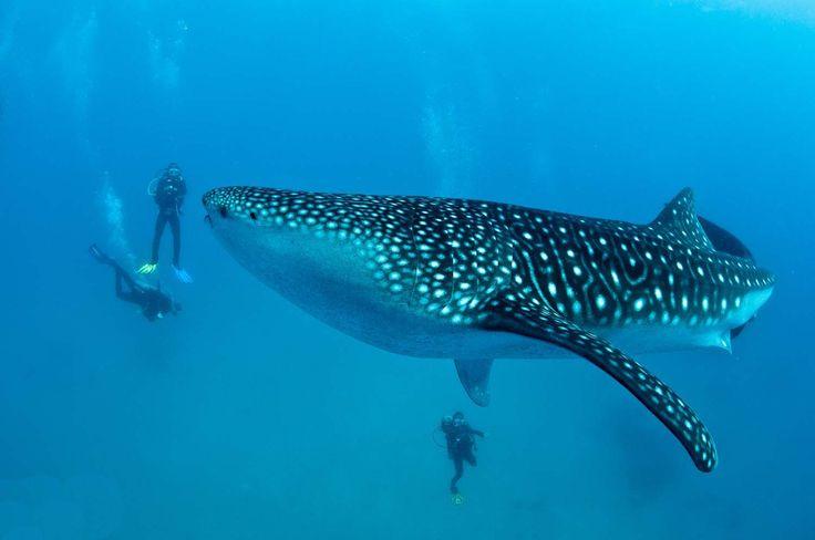 Donsol i Filippinerne er et af de steder, hvor der er størst chance for at dykke med hvalhajer!