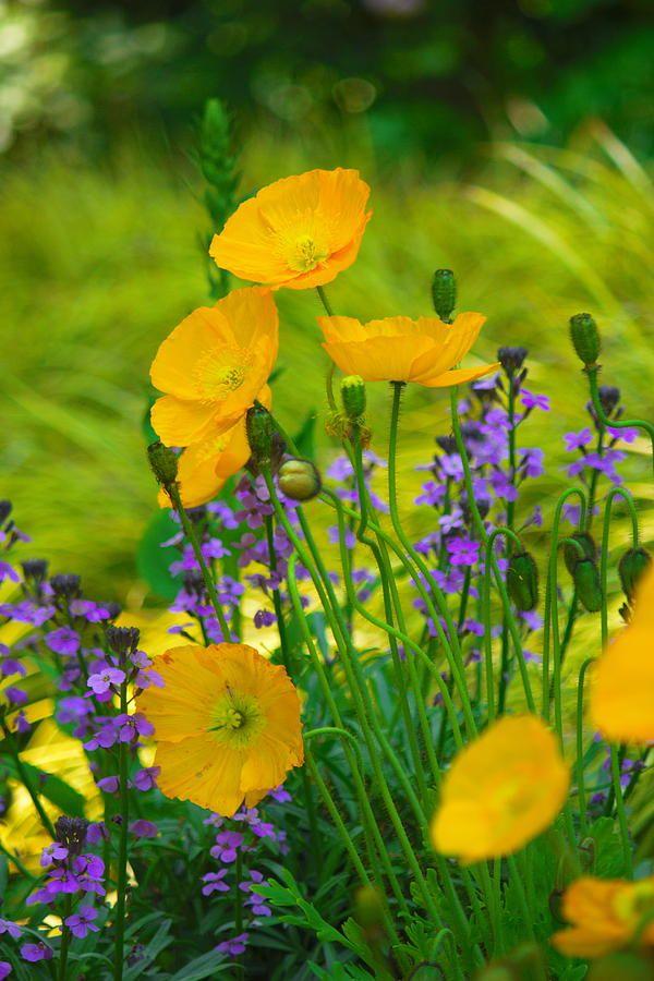 Yellow poppy like flower gallery flower decoration ideas 27 best poppies images on pinterest exotic flowers poppies and yellow poppies mightylinksfo mightylinksfo