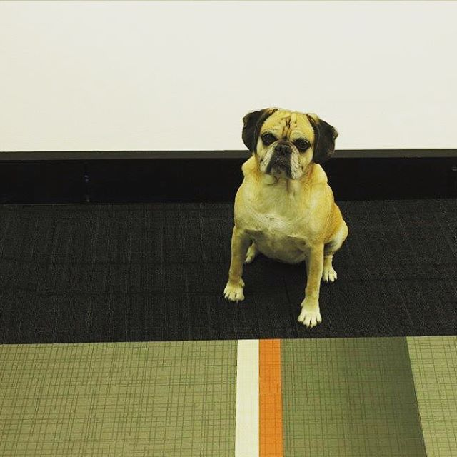 @alvinthepuggle came to visit us on Friday to see us roll out the new Connected Luxury Vinyl Collection. #commercialflooring #design #interiordesign #luxuryvinyl #connected #carpettiles @geoflooring
