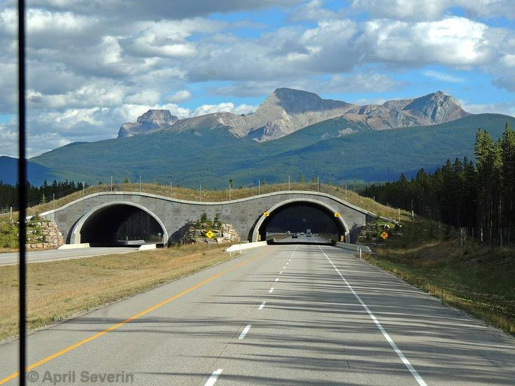 Highway fencing and overpasses in Banff National Park has reduced wildlife-vehicle collisions by more than 80% and, for elk and deer alone by more than 96%.   (From: Parks Canada; photo: April Severin)