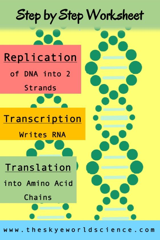 Replication, Transcription, and Translation - Step by Step