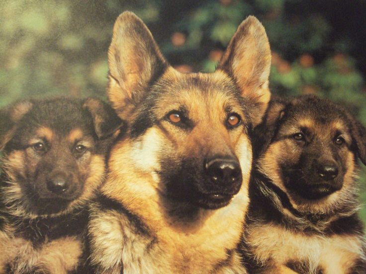 puppies shepard | ... , animals, dogs, german, german shepherd, mother, puppies, sheperd