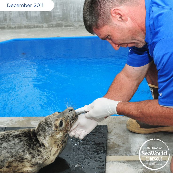 This adorable harbor seal pup was nicknamed Jaws. Why such a scary name? She was brought to SeaWorld with a broken lower jaw, and was unable to eat. Without the medical intervention from SeaWorld, she would not have survived. Thankfully, Jaws recovered well and was returned to the ocean! #365DaysOfRescue
