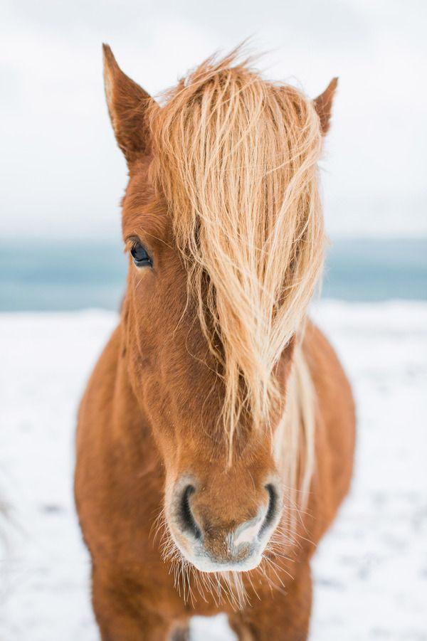 Icelandic Horse I by Robert and Tiffany Peterson on Artfully Walls