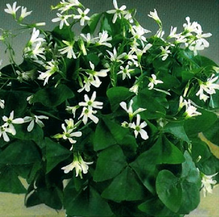 16 best shamrock plants images on pinterest shamrock plant shadow plants and clovers - Shamrock indoor plant ...