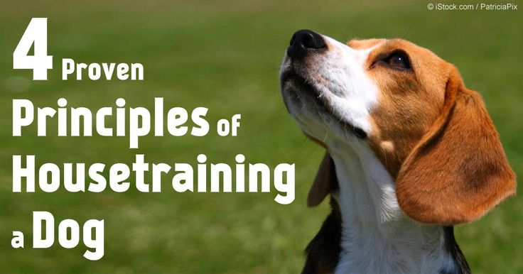 Learn the four principles of housebreaking a dog of any age and the importance of having more patience, positive reinforcement and consistency as the pet owner. http://healthypets.mercola.com/sites/healthypets/archive/2010/05/12/four-proved-principles-of-housebreaking-a-dog-of-any-age.aspx