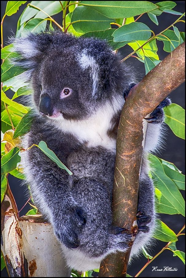 Whiteman Park, Koala