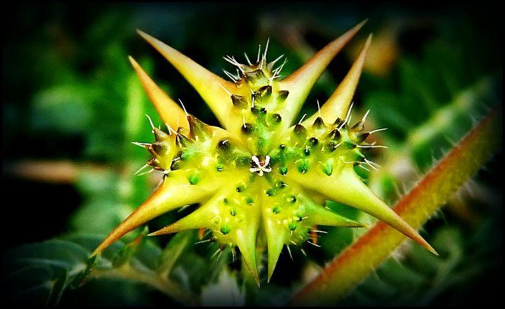 Tribulus terrestris rostlina která požírá tuk a dodává životní sílu - 6minutovka