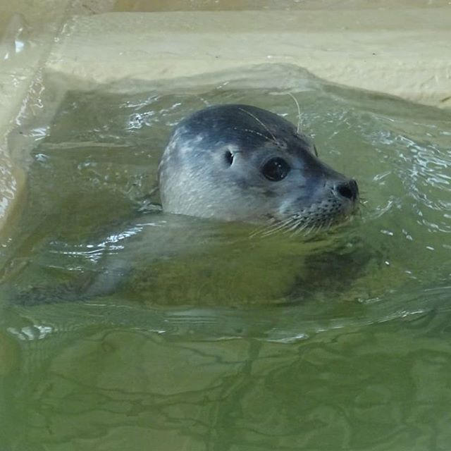 Cute Baby Seal Wir Haben Heute Die Seehundstation In Nordeich Besucht Wo Die Kleinen Seehunde Aufgepappelt Und Anschliessend Ausge Seehund Seehunde Wattenmeer