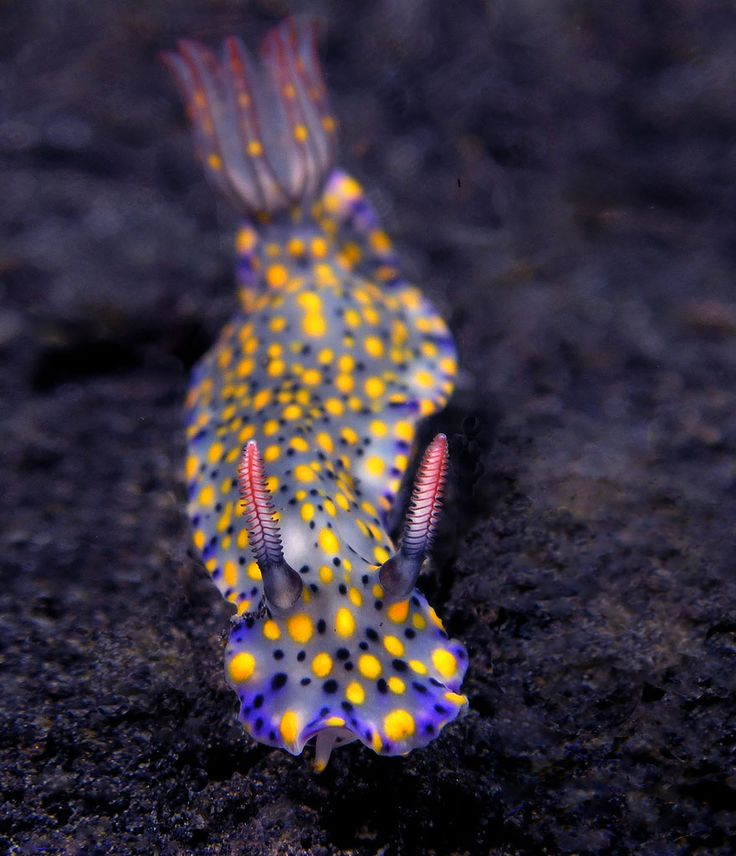 the-awesome-quotes:  Sea Slugs That Prove Aliens Already Live On Planet Earth