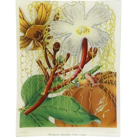 John Derian Company Inc — Hodgsonia Beteroclita