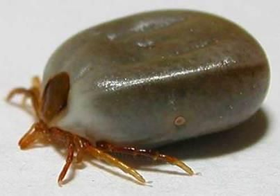 Tick Removal  Read this, it could save you from some major problems.  This is great because it works in those places where it is sometimes difficult to come up with  tweezers.  Apply a dollop of liquid soap to a cotton ball.  Cover the tick with the soap-soaked cotton ball and dab it a few seconds (15-20),  the tick will spontaneously detach themselves and stick to the cotton when you take away the prop.  This technique has worked every time.  Pass this on to anyone who needs this handy tip.