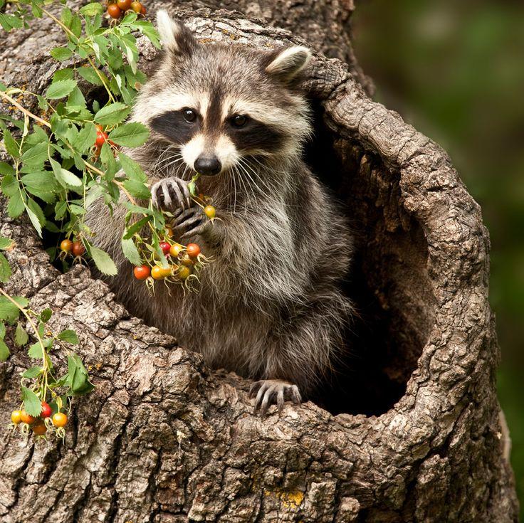 Raccoon-in-tree.jpg (1200×1199)