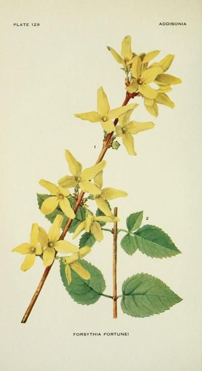 Forsythia Fortunei (Fortune's Golden Bell). Plate from 'Addisonia' Published 1916 by New York Botanical Garden archi...