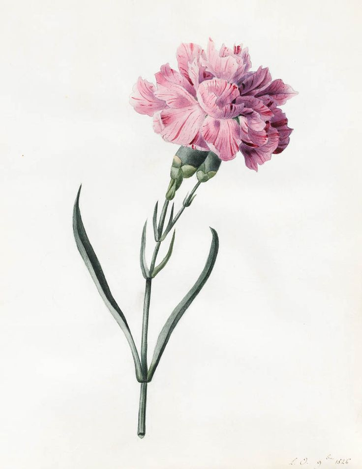Princess Louise D'Orleans, Carnation / Nelke, water-colour