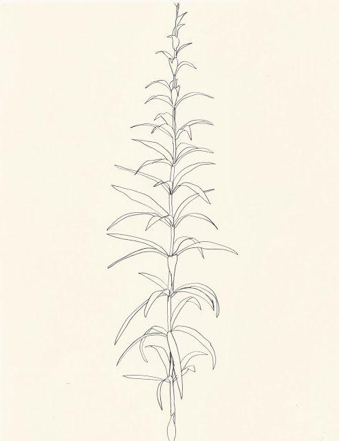 une collecte: Ellsworth Kelly: Plant Drawings                                                                                                                                                     Mais