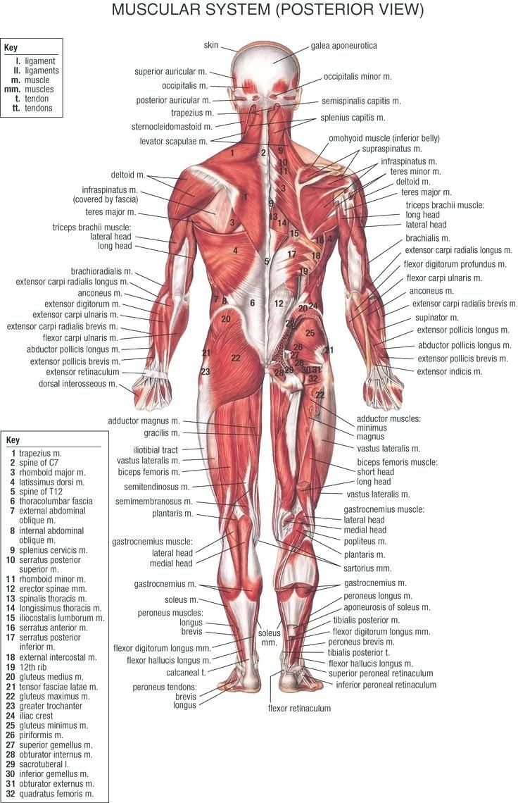 Human Muscle Cell Diagram 1999 Mustang Cobra Wiring Study Body Anatomy
