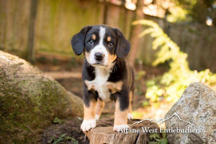Entlebucher Mountain Dog puppy at 6 weeks old