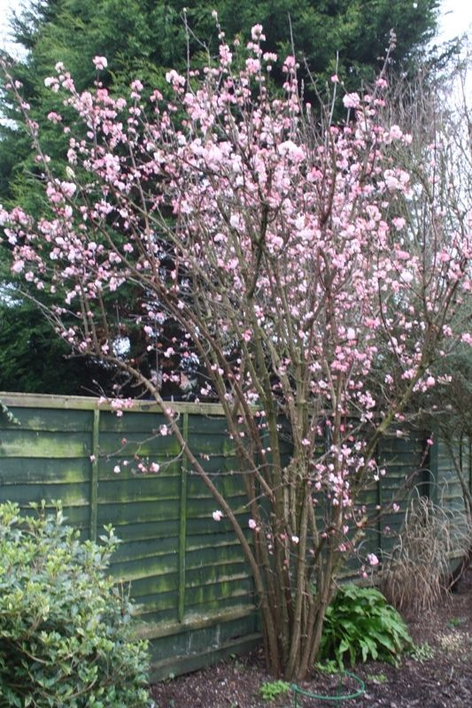 "Viburnum x bodnantense ""Dawn"". This is highly scented. However, it is 'messy', so would need pruning."