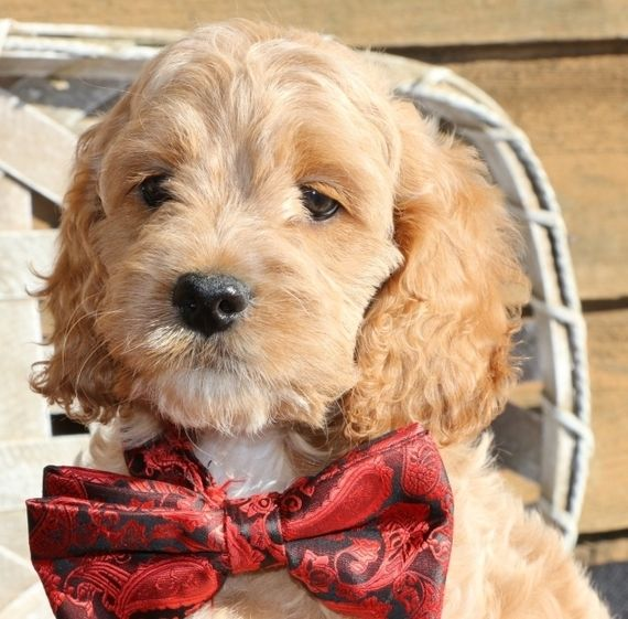 Oscar Is A Male Cockapoo Puppy For Sale At Puppyspot Call Us Today To Learn More Reference 571756 When You Call Puppies Cockapoo Puppies For Sale Havanese