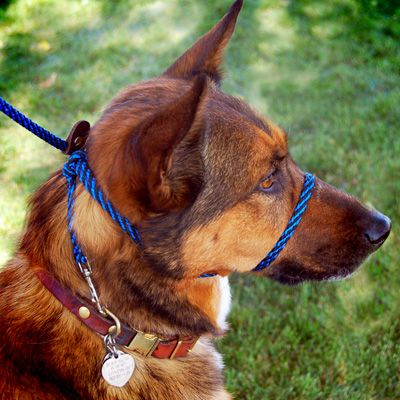 Infinity Lead No Pull Head Collar and Leash by Bold Lead Designs / alas, only for dogs over 20 lbs.
