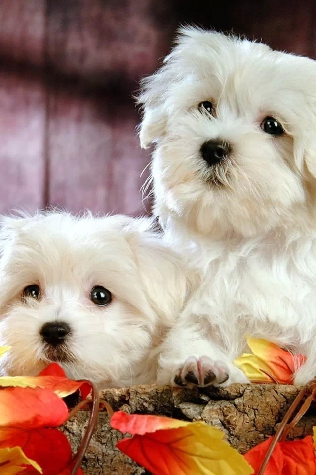 precious Maltese dogs bc it reminds me of my only son my