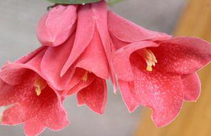 El Copihue: ¿Conoces la leyenda de la flor nacional? | Educación para Niños