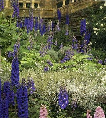 Delphiniums at Hestercombe, in Taunton, Somerset, England.
