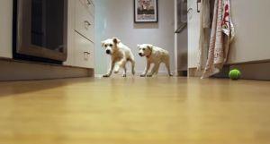 Zwei süsse Hunde im Wettlauf um den Fressnapf