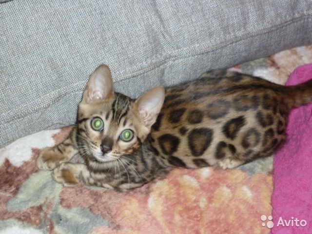Бенгальские котята — фотография №4