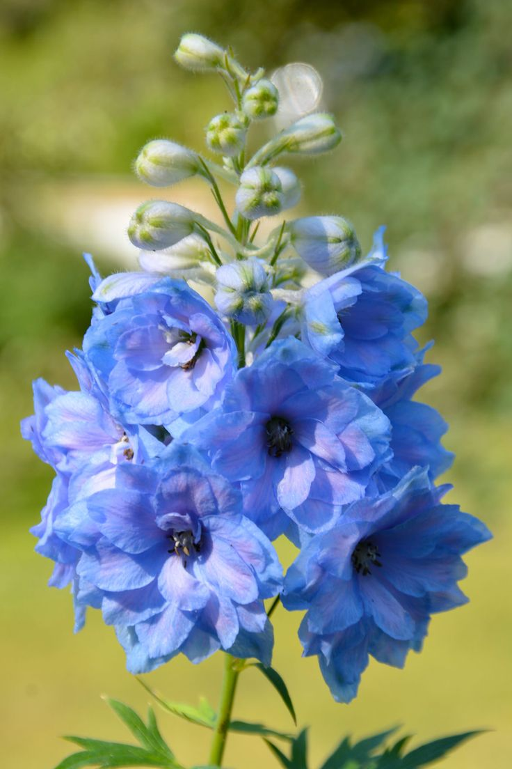 Delphinium 'Blue Lace' (With images) Delphinium, Flower